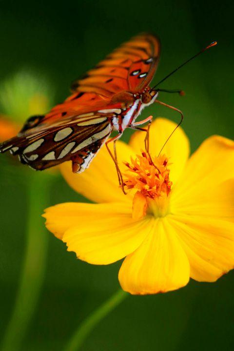Beautiful Gulf Fritillary Butterfly - LaMaccPhotography
