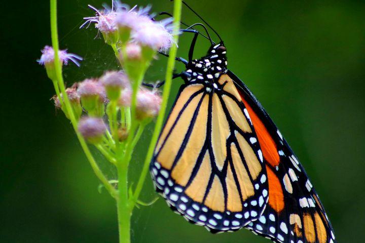 Monarch Butterfly - LaMaccPhotography