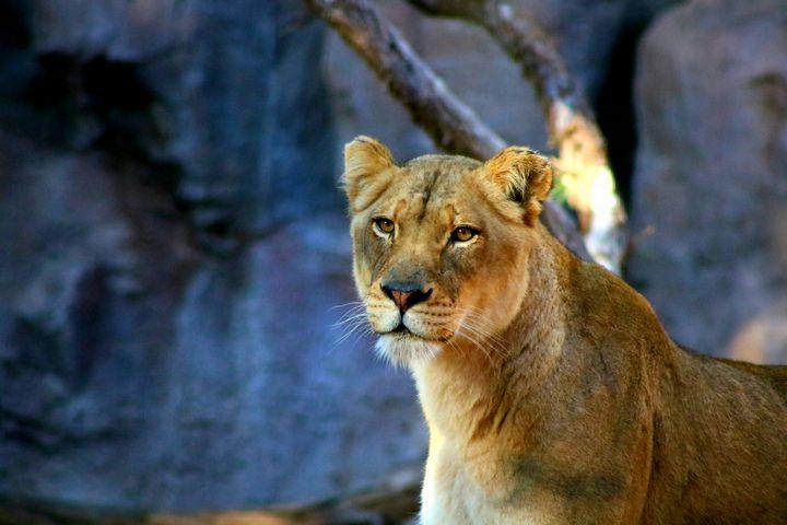 Portrait of a lion - LaMaccPhotography