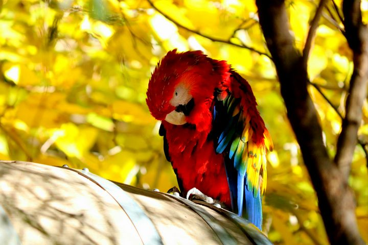 Resting colorful parrot - LaMaccPhotography