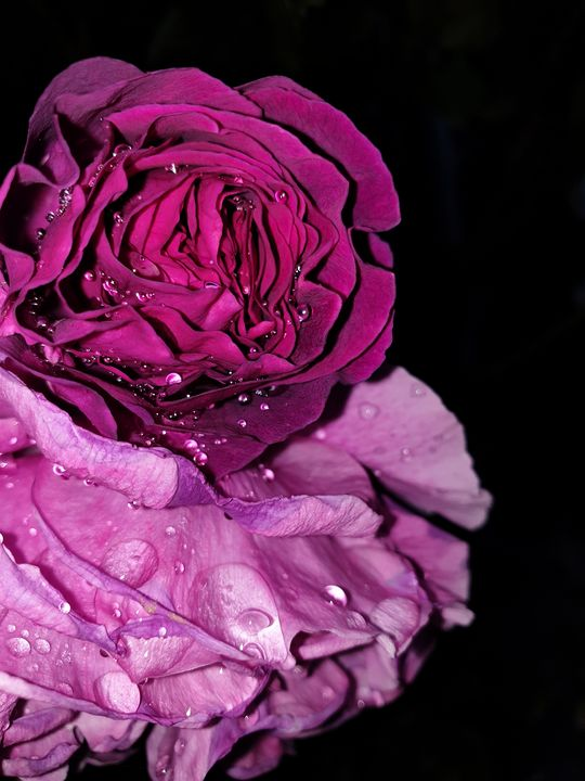 Pink Roses - Nuri Mountain Photography