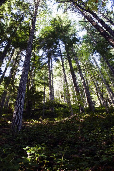 Looking Through the Trees - Washington Artwork