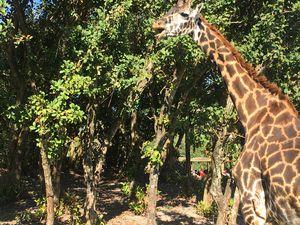 Giraffe Life