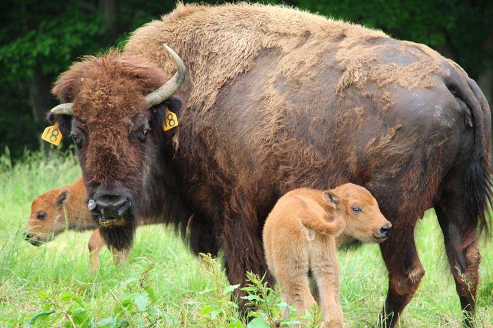 Buffalo Mother and Calves - Annise Cibrian Photography