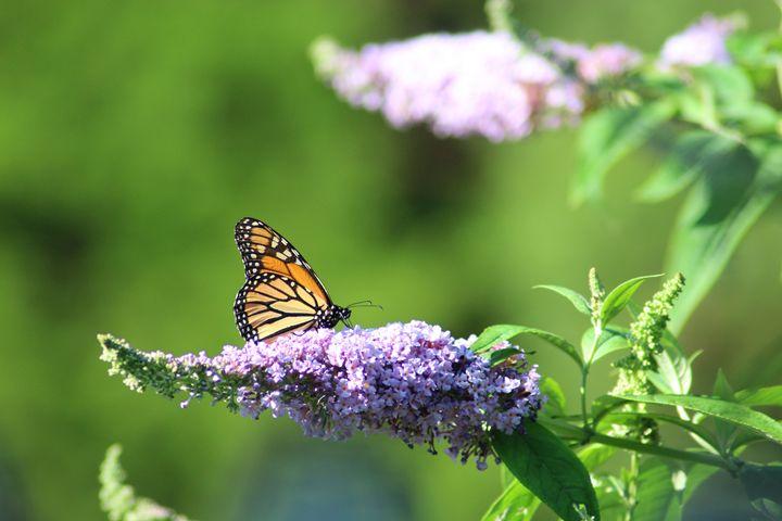 Monarch - Annise Cibrian Photography