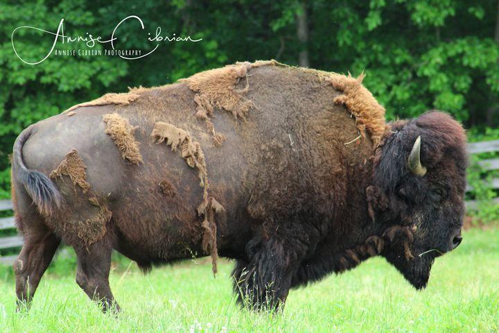 Bully the Buffalo - Annise Cibrian Photography