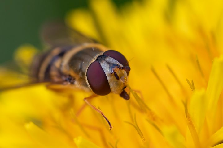Hoverfly - Photography