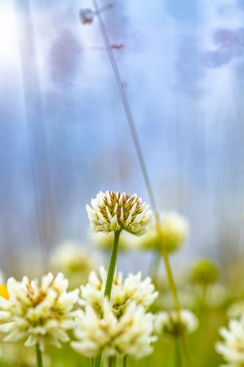 White Clover - Photography