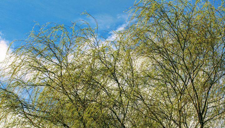 Whispering Willow - Artistrology