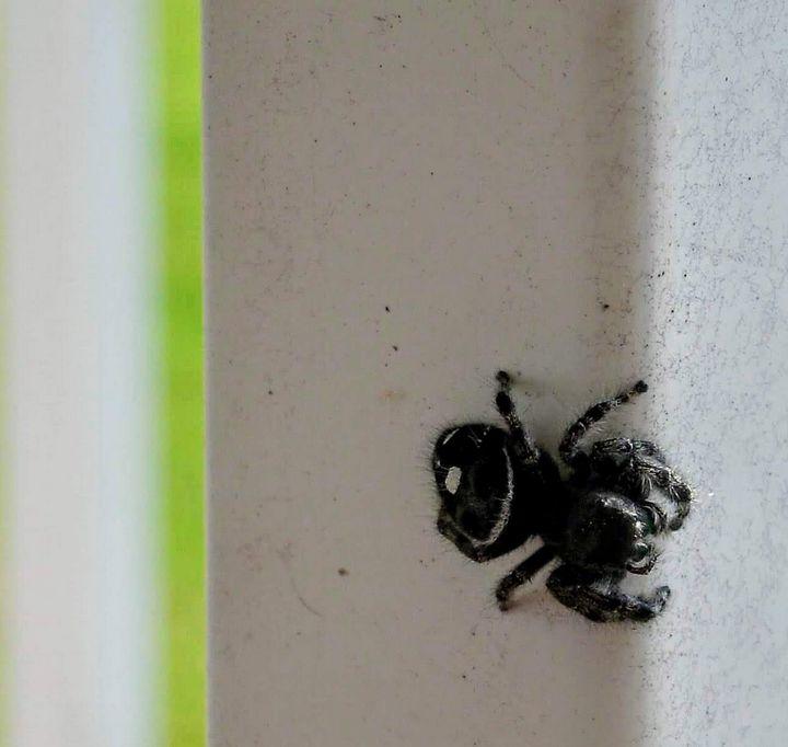 Curious Jumping Spider - Artistrology