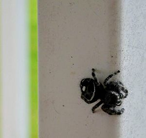 Curious Jumping Spider