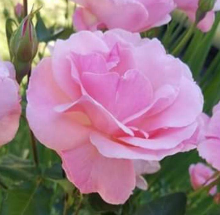 Pink Rose - Jodie