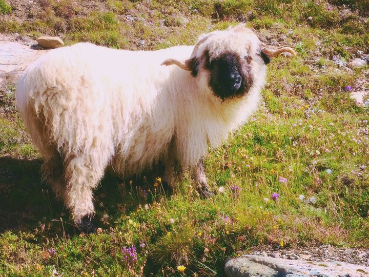 Black-Nosed Sheep - Luci28