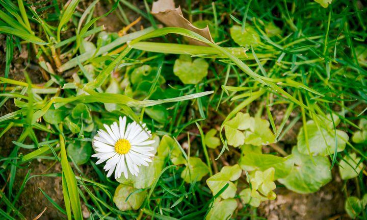 Daisy (Bellis perennis) - OtaPhotoTours