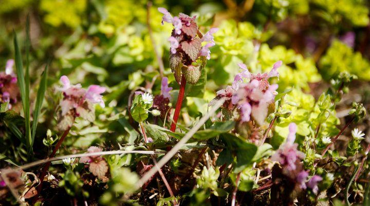 Spotted Dead-nettle Lamium maculatum - OtaPhotoTours