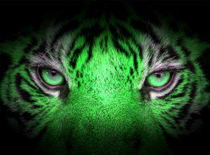 Blick des Tigers