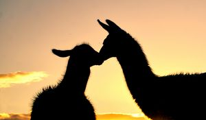 Sunset Llama Kiss