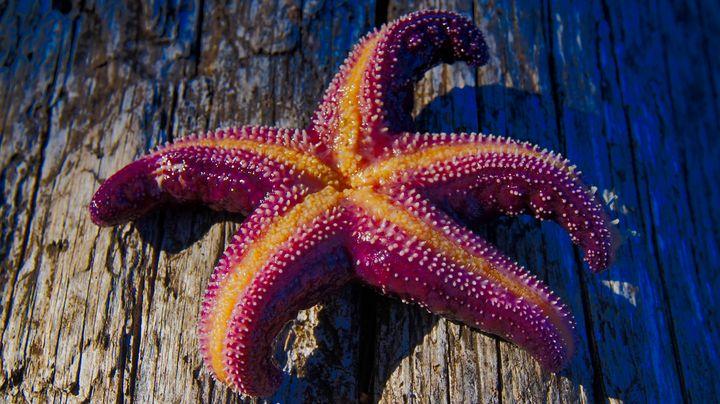 Starfish - Sky North Photography