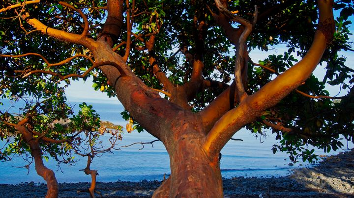 The Arbutus Tree - Sky North Photography