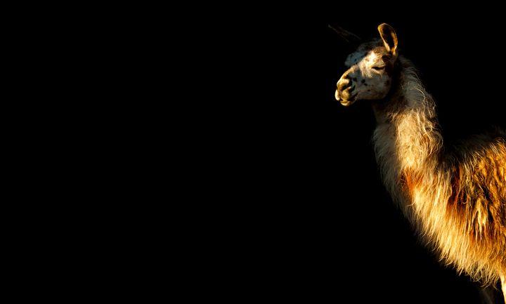 Llama on Black - Sky North Photography