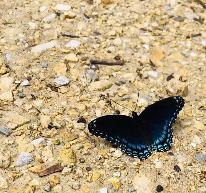 Blue Butterfly - Emily M