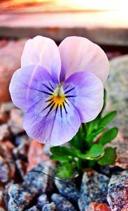 Violet - Varjopihlaja