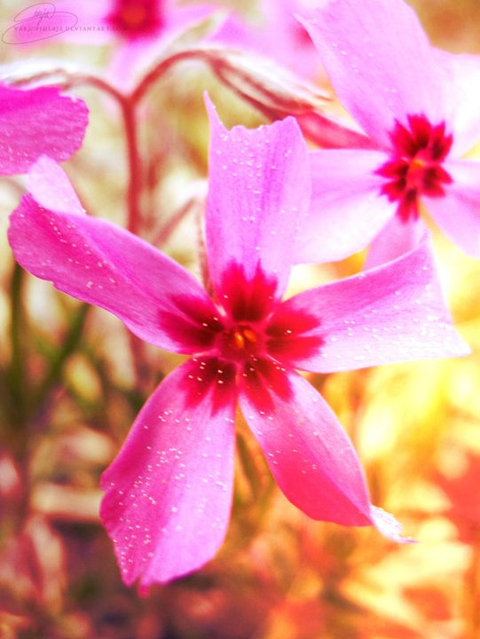Pink flowers - Varjopihlaja