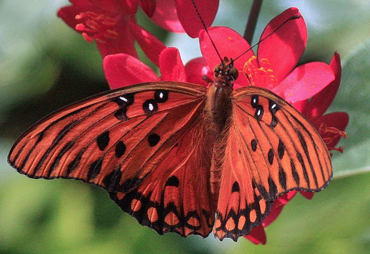 Butterfly #3 - Larry Singer Fine Art Photography
