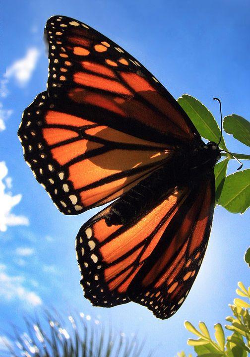 Butterfly #1 - Larry Singer Fine Art Photography