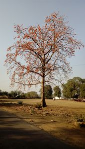 RED LEAFE TREE
