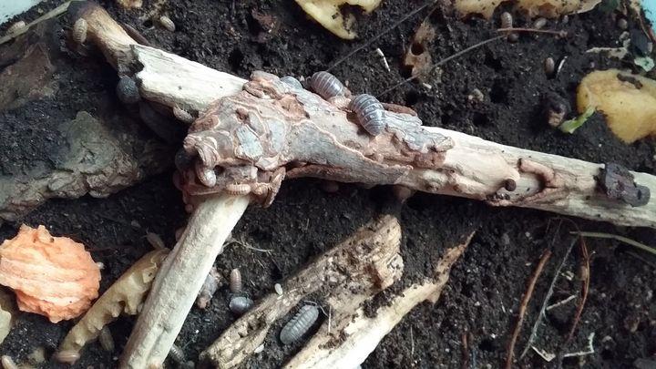 Isopod Haven - The Farming Artist