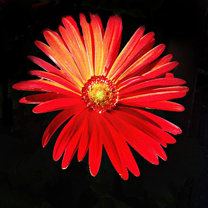 Red Gerber Daisy - NESimages (Nancy E Stein)