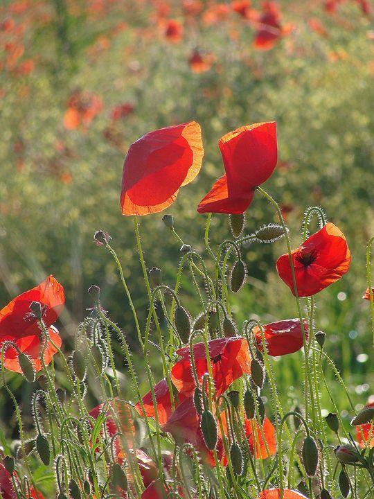 Umbrian Poppies 4 - Rhoegue Gallery