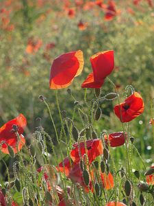 Umbrian Poppies 4
