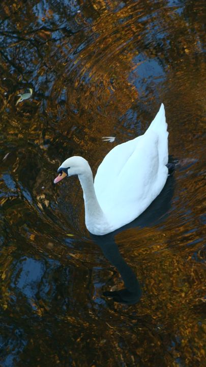 water swan - Rhoegue Gallery