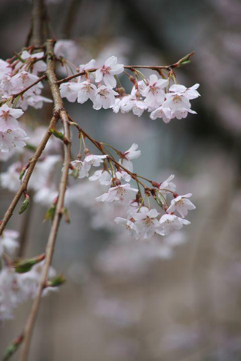 Balance - Cherry Blossoms - Accento