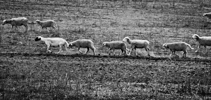 The Shepherd Sheep Monochrome - Omni Photo Art