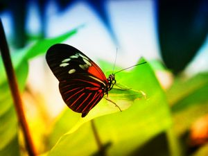 The Butterfly 1