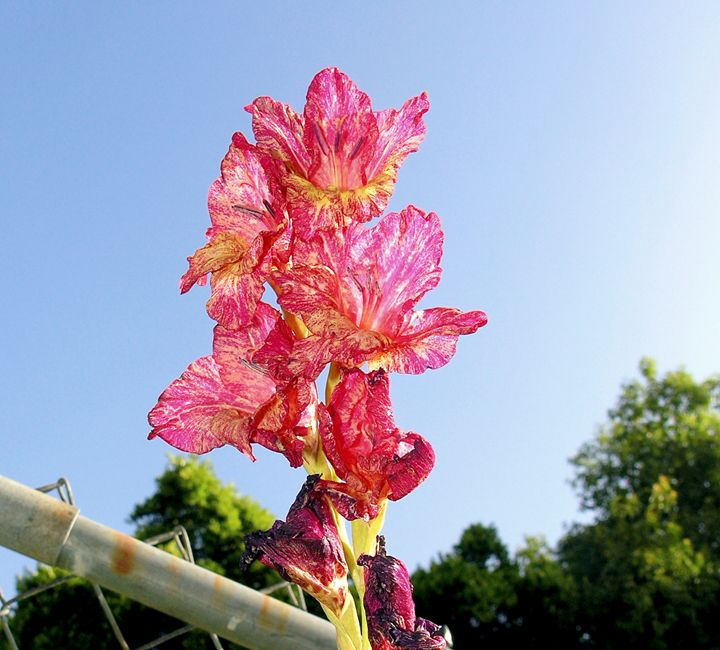 Pink Flowers - Avril Joy
