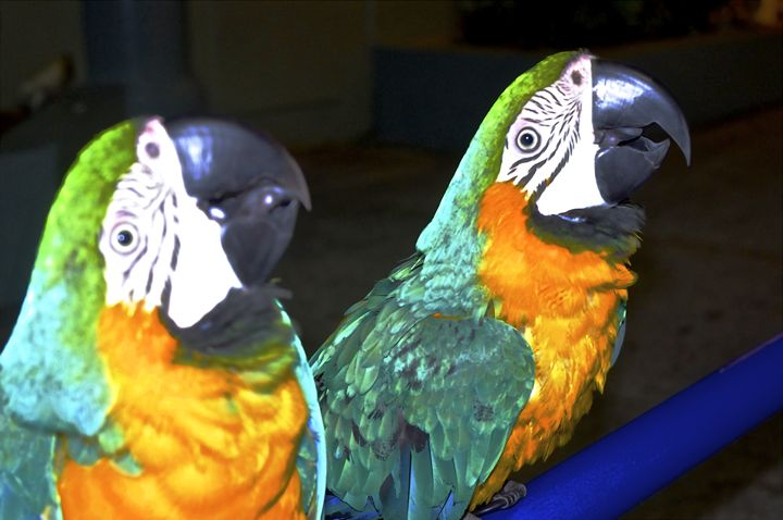 Two Parrots - FotoFreedom