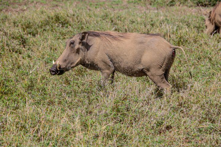 Warthog - polytyc