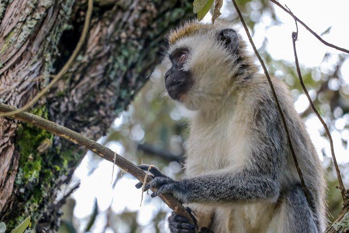 Monkey - polytyc