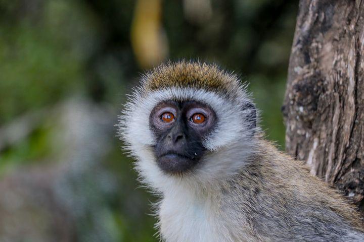 Monkey Face - polytyc