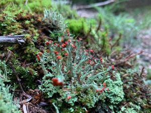 Lichen Fruiting Bodies 1