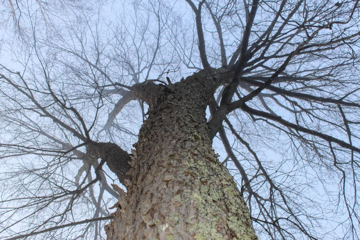 Giant tree - Milena