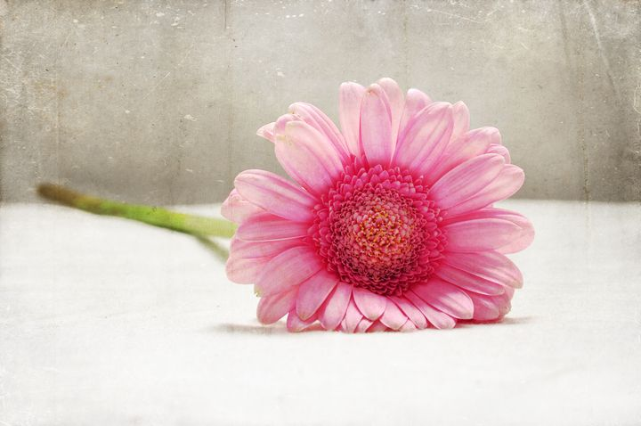 Softness in Pink - Graceful