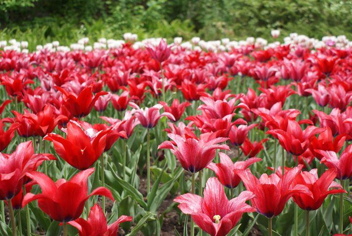 Tulip Festival - Amanda
