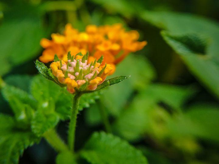 A Beautiful Flower on Island - Sevi