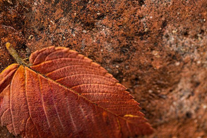 Single Orange Autumn Leaf - Crystal Madsen Photography