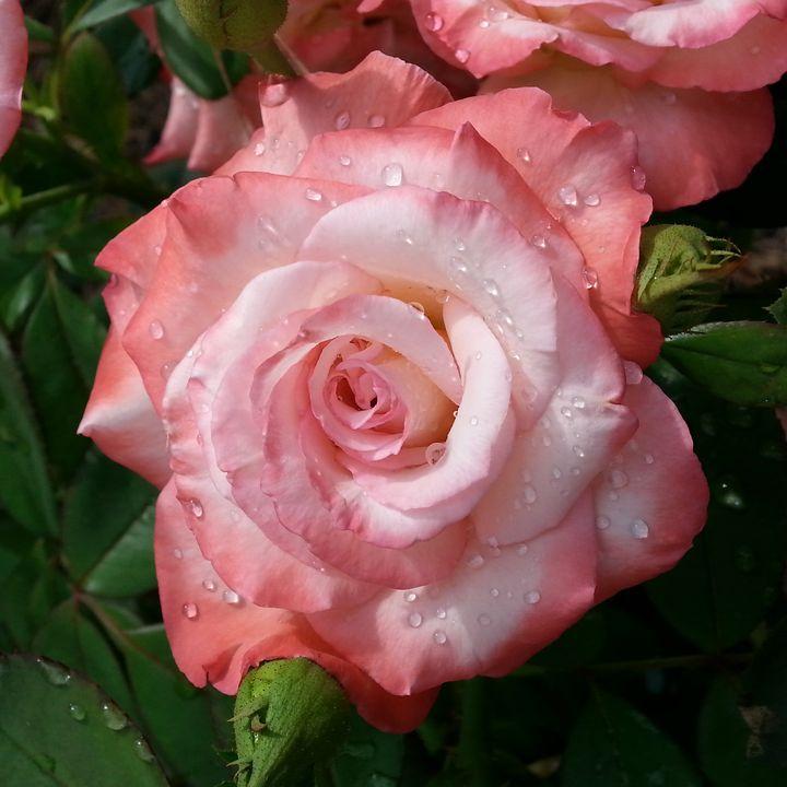 Rain Kissed Rose II - Aisha Hammett Artistry